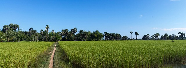 """Rice fields, Cambodia"" [ photo  by  Anita Rüegg  /  CC0 ]"