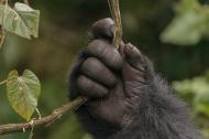 stock-photo-80916523-gorilla-s-hand.jpg