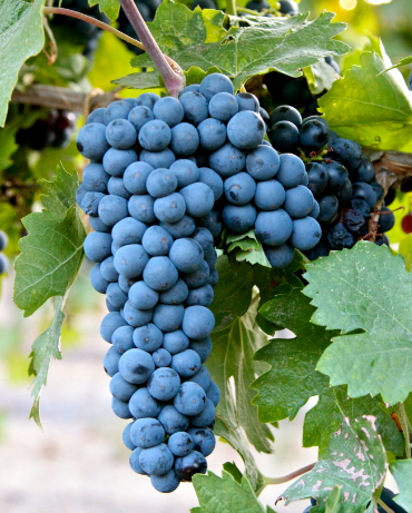 zinfandel grapes all about on Pig&Vine