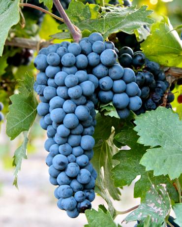 zinfandel on vine
