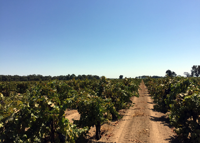 sandy loam Lodi AVA vineyard