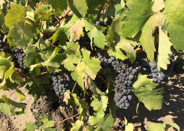Old vine August 14, 2016 zinfandel