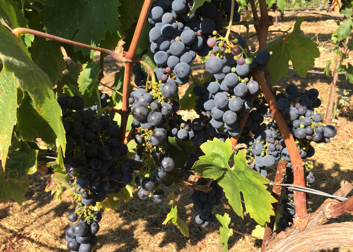 Rockpile AVA Mauritson Family Vineyards zinfandel