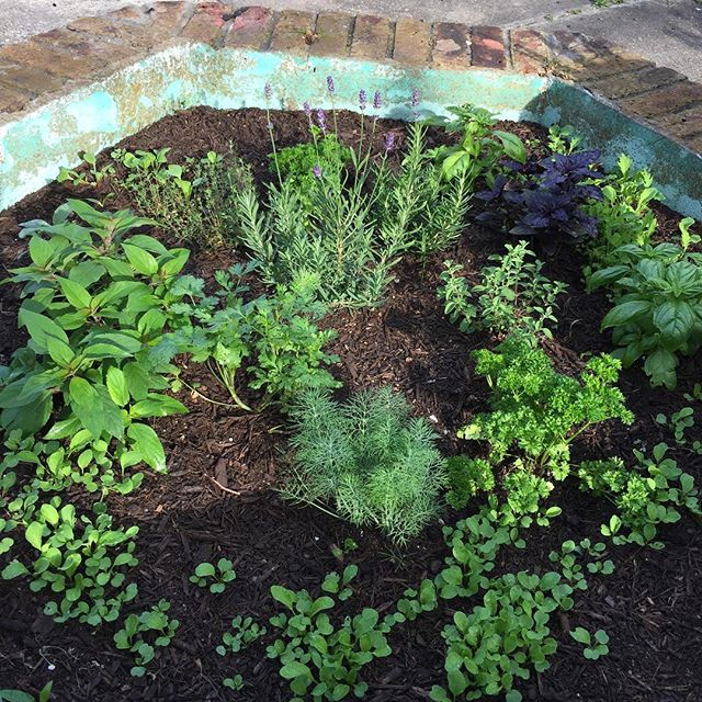 My herb garden is thriving and the lavender is in bloom. So nice to have space to grow things again! #marigny #neworleans #nola #herbs #herbgarden