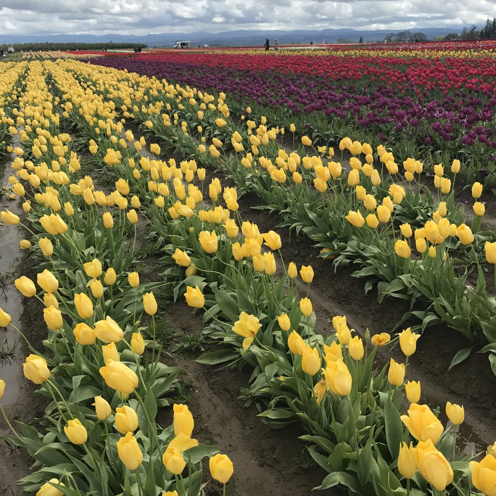 The fields are adorned with tulips of all variety and color at the Wooden Shoe Tulip Festival.