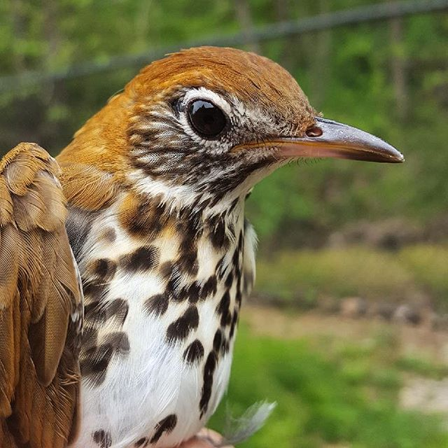 A Wood Thrush photographed by Birds & Beans Coffee's Voice & Author, Katie Fallon
