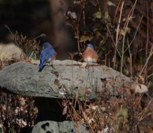 Bluebirds at Teaneck Creek Conservancy, © Jimmy Macaluso, Bergen County Audubon Society