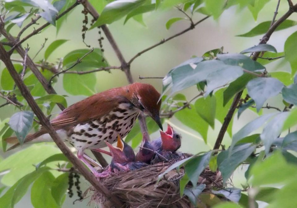 Wood thrush populations have declined by 65% in the past four decades. Photo by Kelly Colgan Azar.