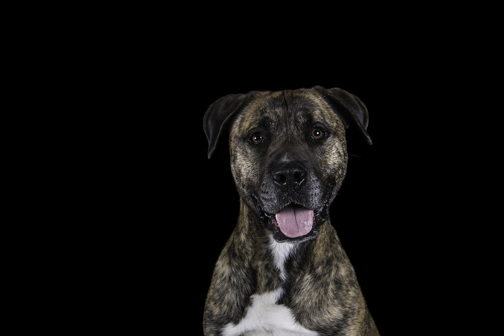 Shadow - A four year old Mastiff Mix.