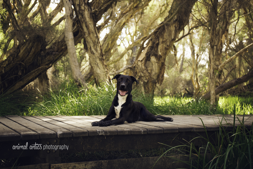 Billie - Dog Photography in Perth with Animal Antics Photography