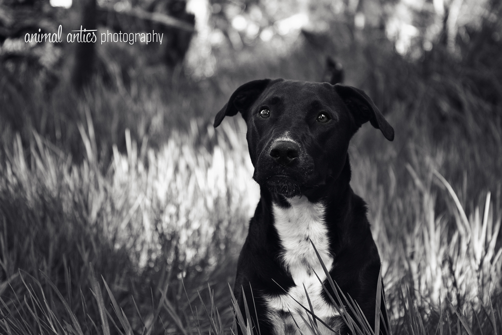 Animal Antics Photography, Pet Portraits in Perth. Billie pictured - dog photography