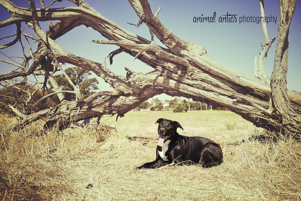Dog Photography in Perth, WA with Animal Antics Photography. Portraits and Lifestyle Pet Photography.