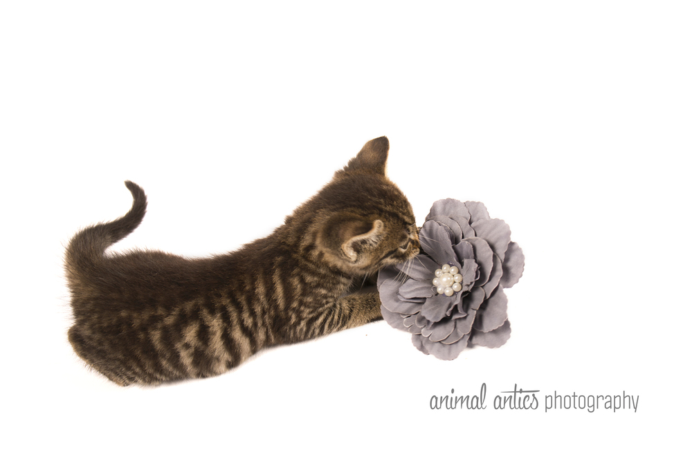 Animal Antics Photography Cats and Kittens - Pet Portraits Perth