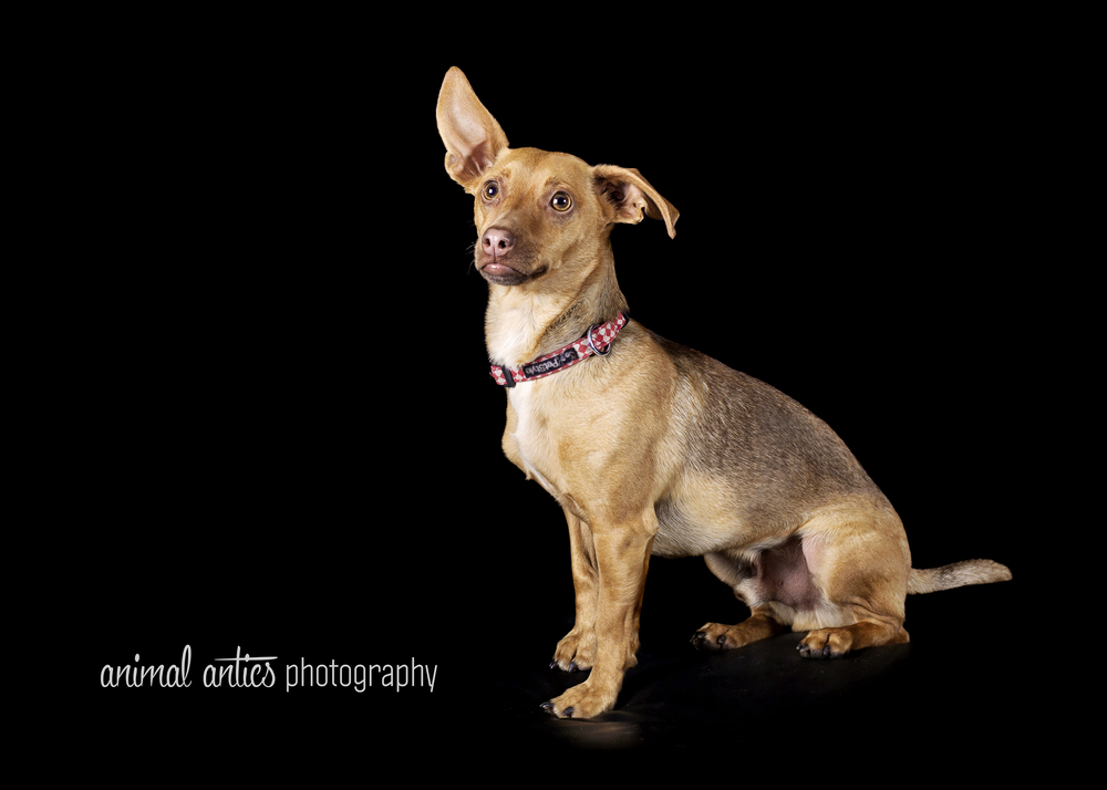 Max Perth Chihuahua Rescue with Animal Antics Photography
