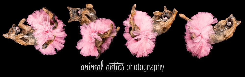 Meisha Halloween Dancing Queen Animal Antics Photography Perth FB.jpg