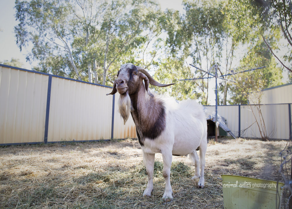 William Billy Goat 004.jpg