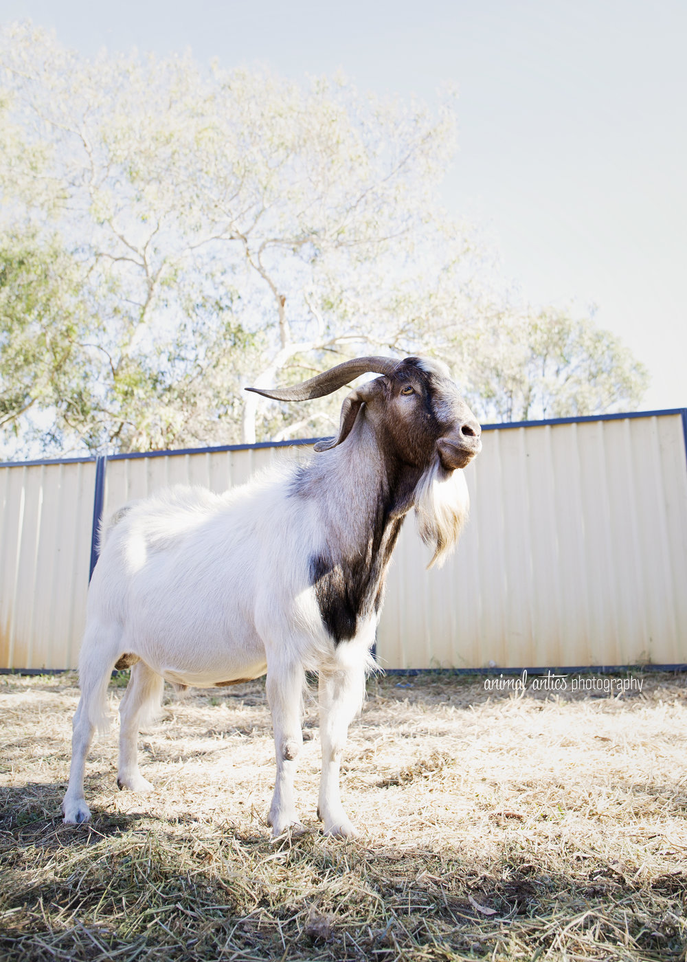 William Billy Goat 005.jpg