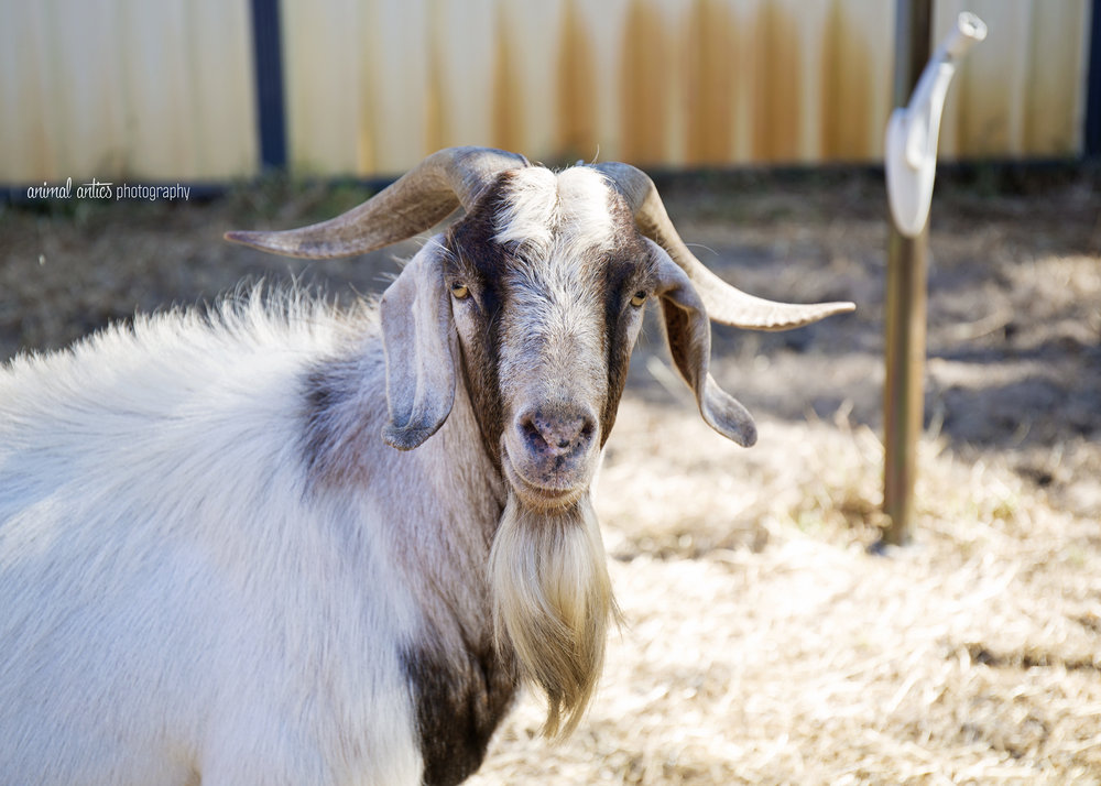 William Billy Goat 006.jpg