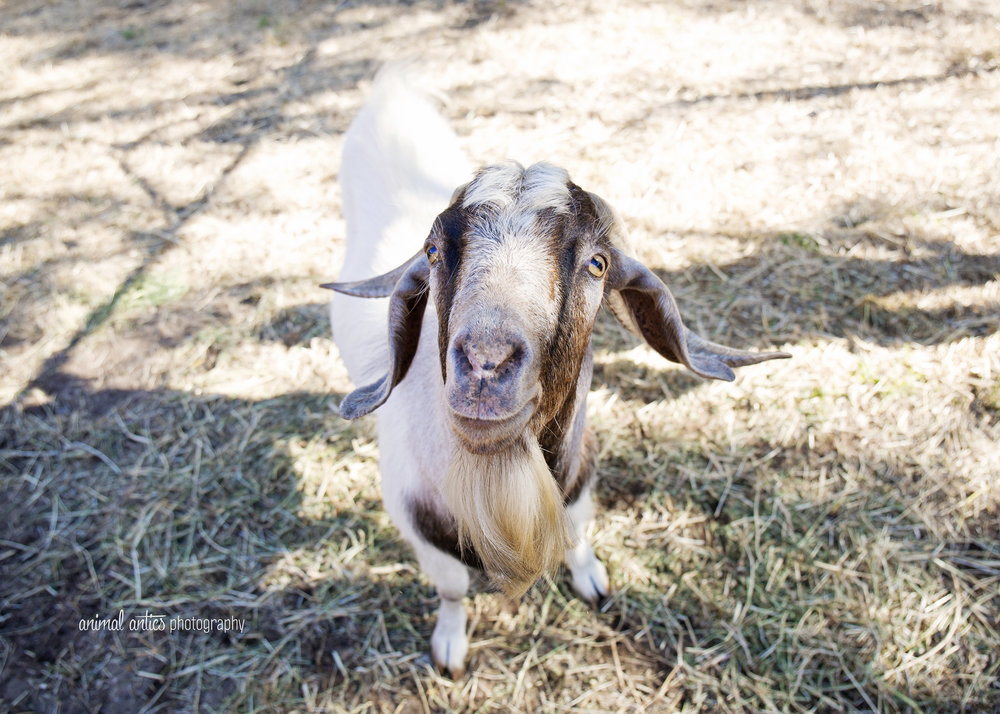 William Billy Goat 007.jpg