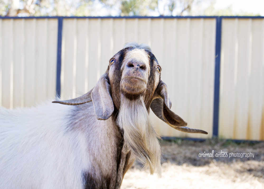 William Billy Goat 011.jpg