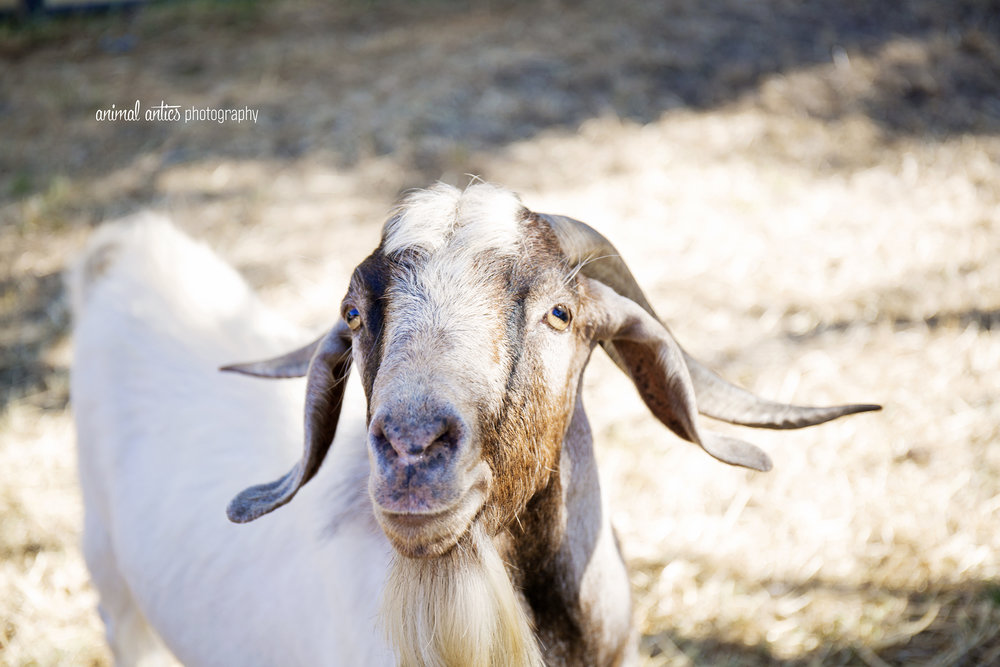 William Billy Goat 013.jpg