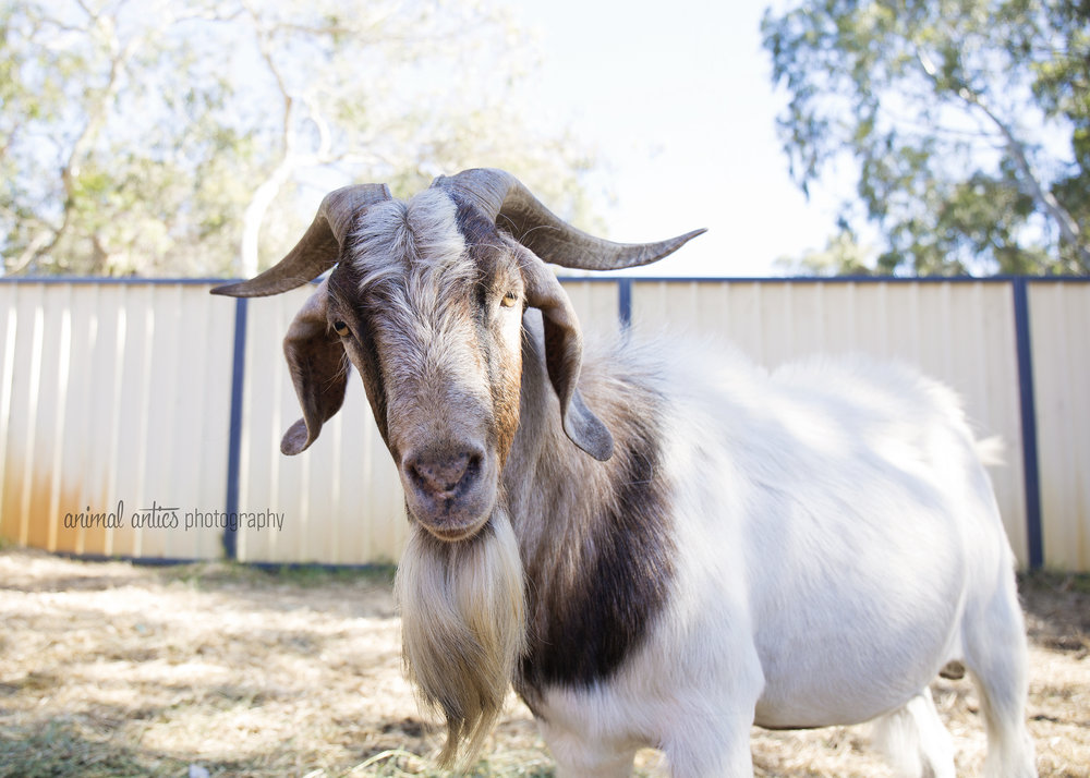 William Billy Goat 015.jpg