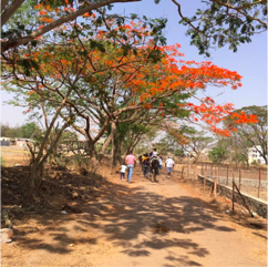 The flaming orange of the Gulmohar that flowers more profusely as the intensity of the heat increases-