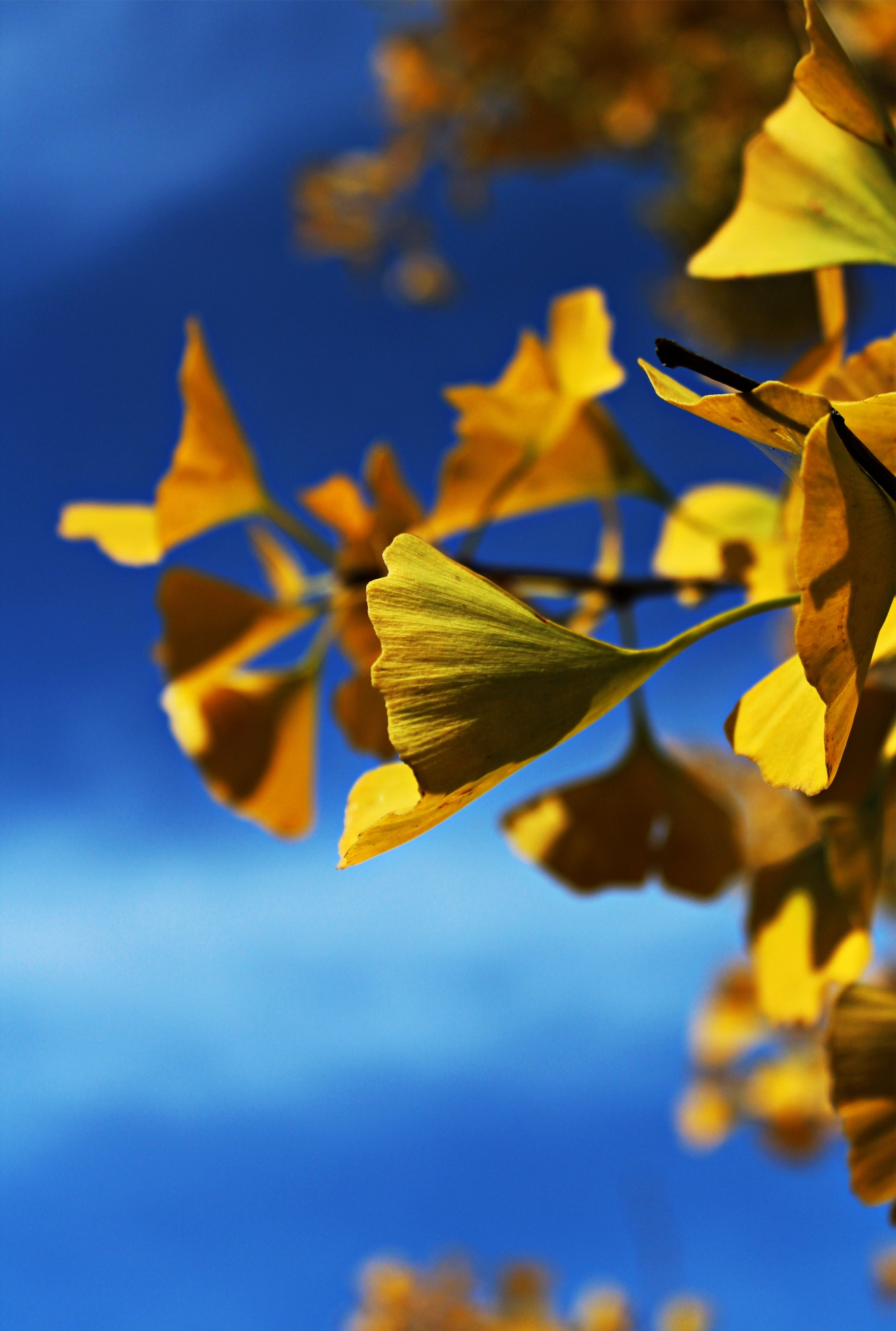 -absolutely_free_photos-original_photos-ginko-3262x4845_22824