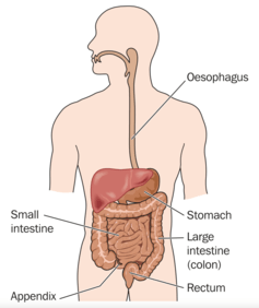 Intestines.png