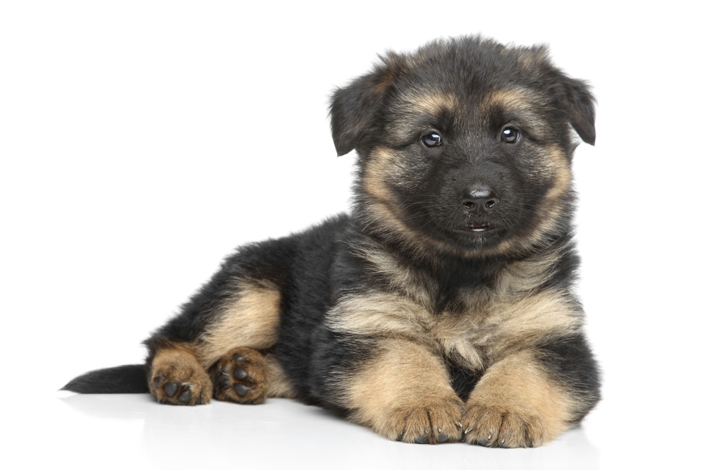 Group of German Shepherd Puppies For