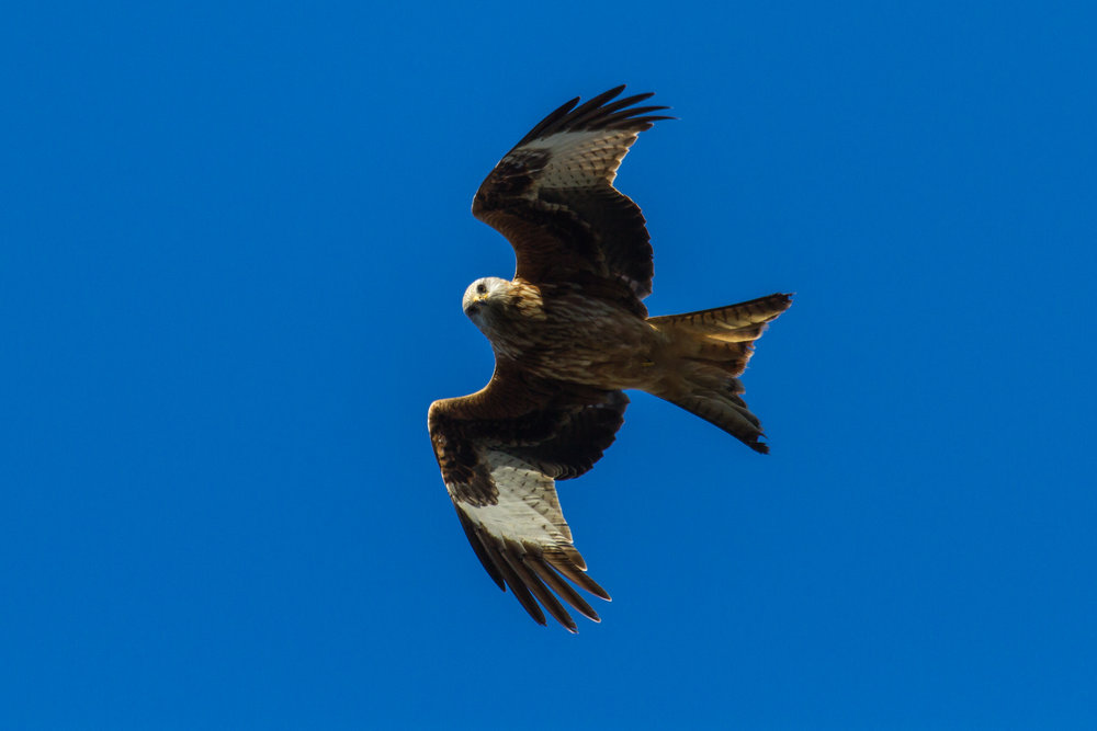 Red Kite Easton Estate South Lincolnshire