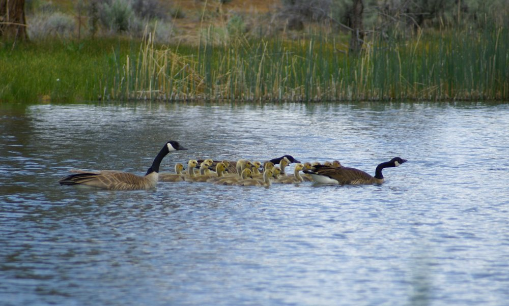 Gaggle of Goslings-squashed.JPG