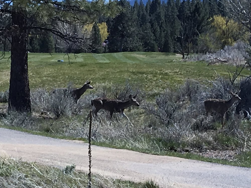 Deer at Diamond Mountain Golf Course-squashed.JPG