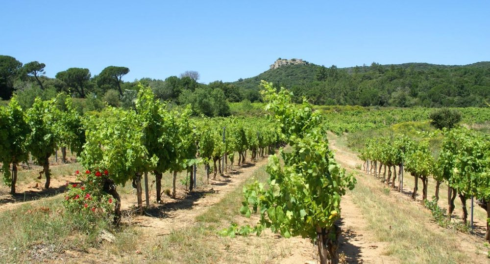 Vineyards as far as the eye can see in the Languedoc wine-producing area, Château Gicon.