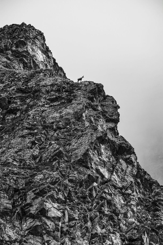 Chamois grimpeur au dessus des lacs Jovet, 2018.CHAMOIS ALPINISTE DANS LES PENTES DU MONT TONDU, VAL MONTJOIE (HAUTE-SAVOIE, FRANCE).