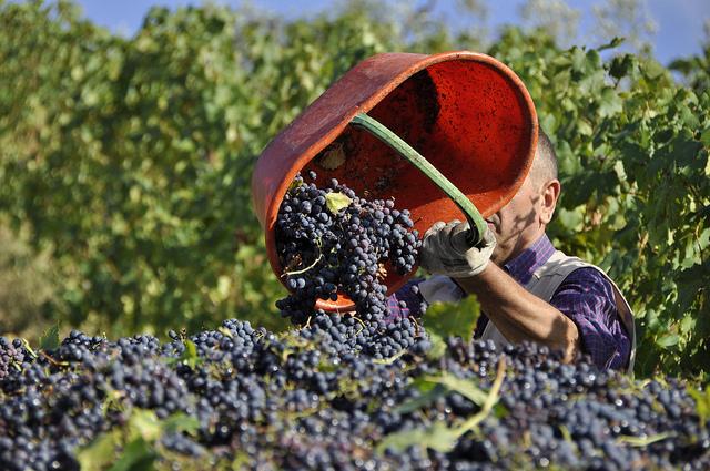 Dopo le uve bianche, la vendemmia prosegue con le uve rosse
