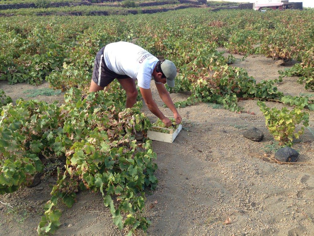 A Pantelleria la raccolta delle uve sarà una delle ultime a essere fatta in Sicilia