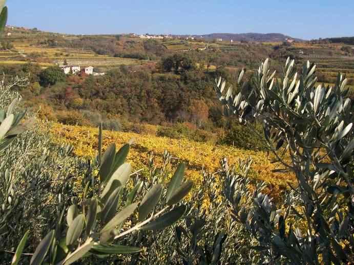 vigneti e olivi autunno.jpg
