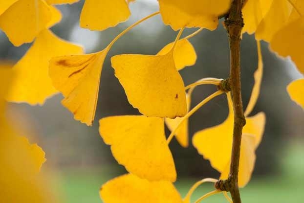 Autumn leaves of  Gingko biloba,  image courtesy of Kew Gardens