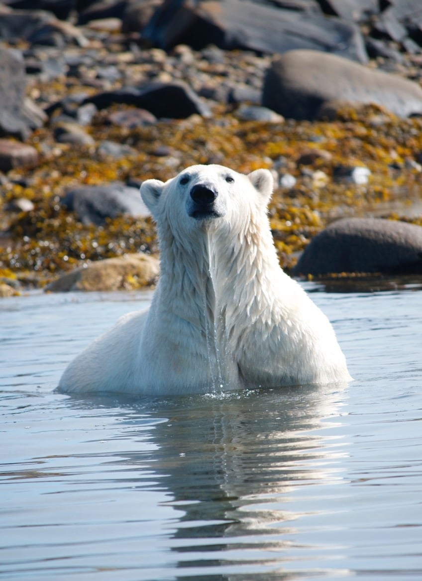 polar bear looking at you in water.jpeg