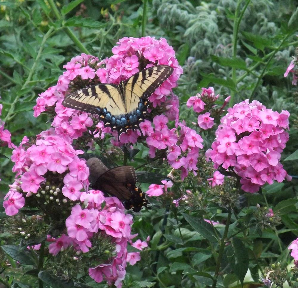 Butterflies 002-1.jpg
