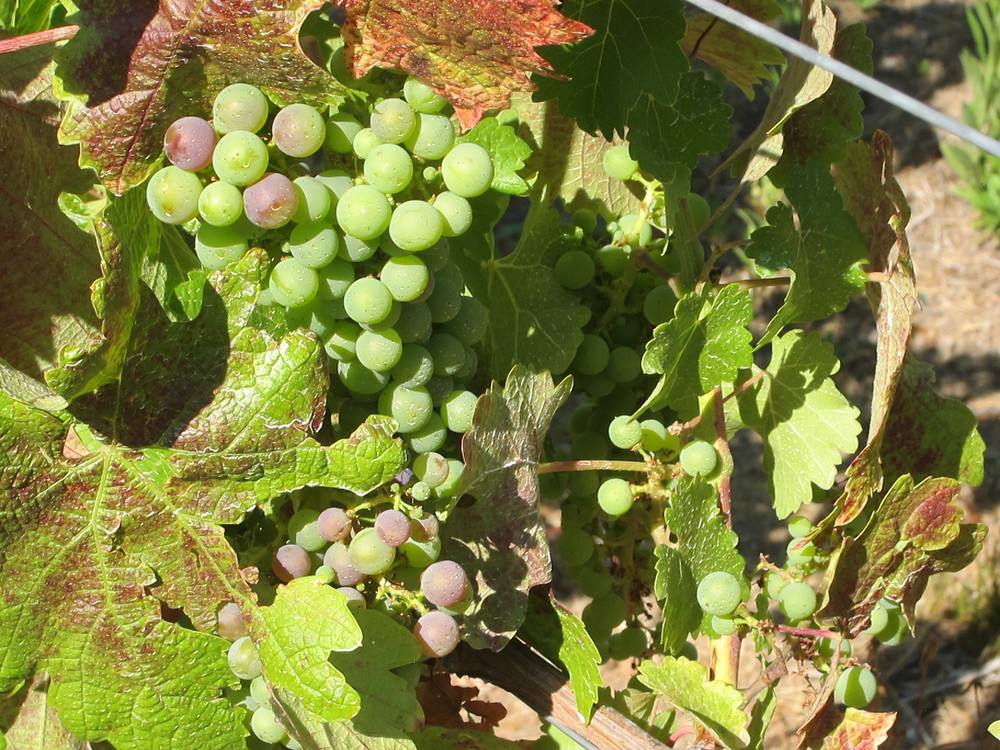 Veraison in Mid July.JPG