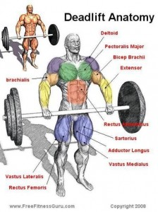 Front Deadlift Anatomy