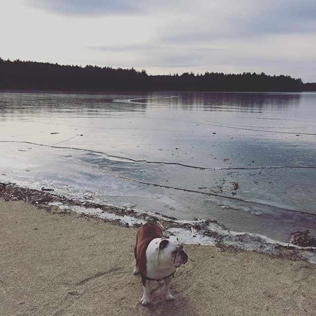 #lakeside #charlie #cooper #englishbulldog #bulldog #bulldogsofinstagram