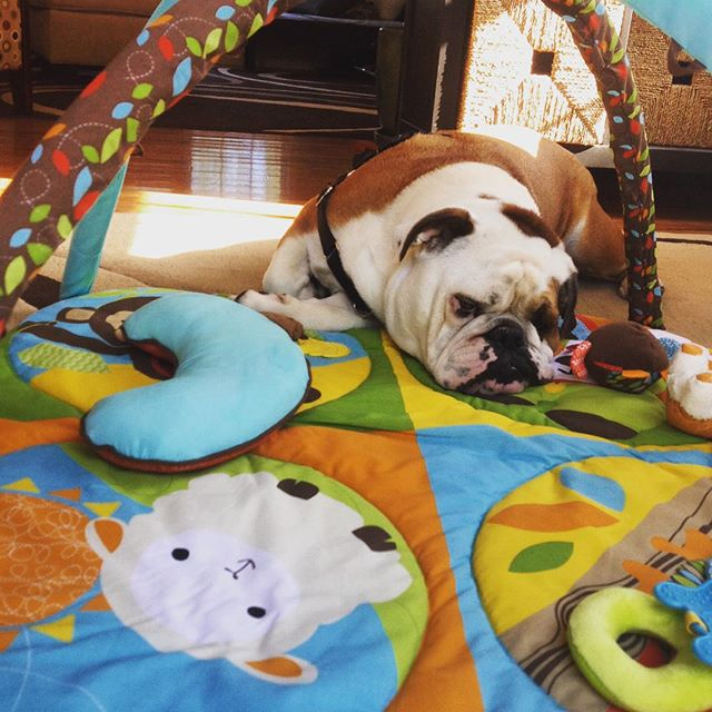 I like tummy time! #english #bulldog #englishbulldog #englishbulldogs #englishbulldogsofinstagram #babybrother