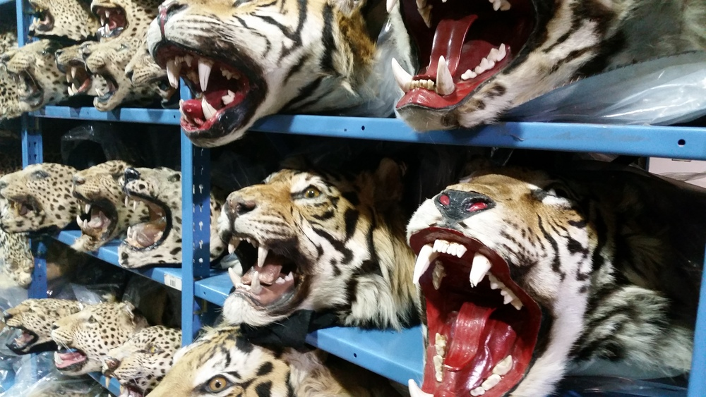 Confiscated tiger skins, Credit:USFWS Mountain-Prairie