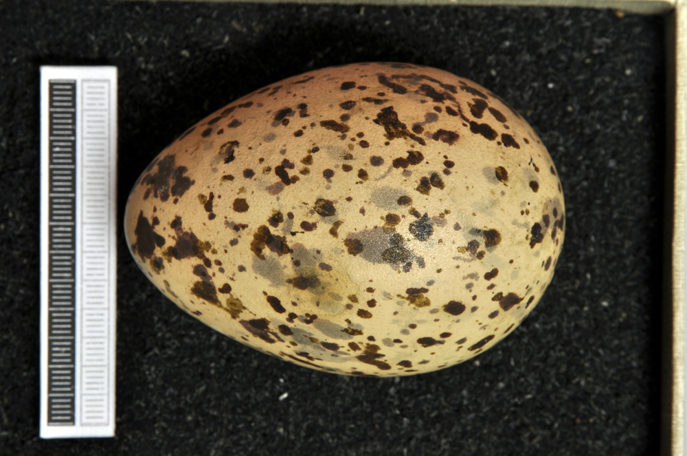 Black-headed gull egg Credit: Wiki commons