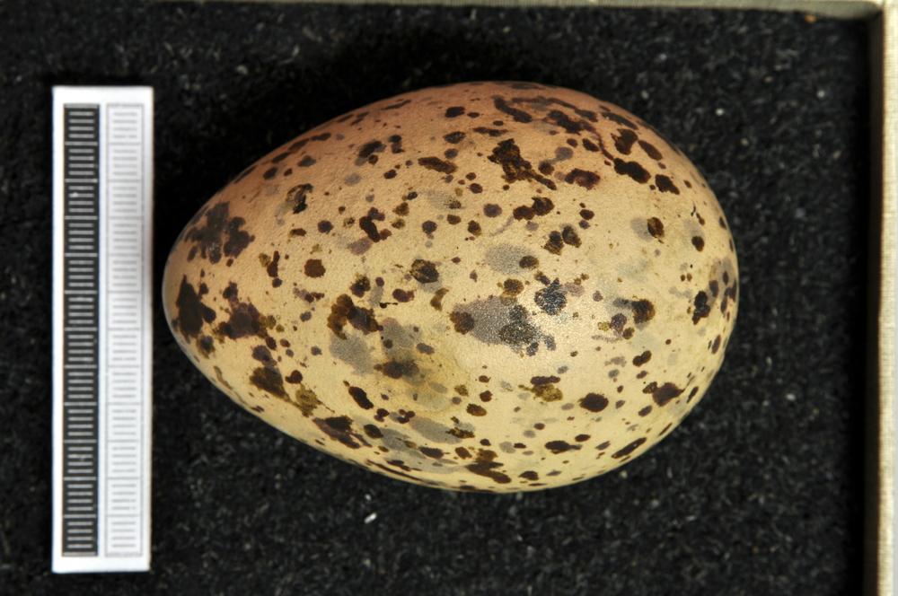 Black-headed gull egg Credit: Wiki commons