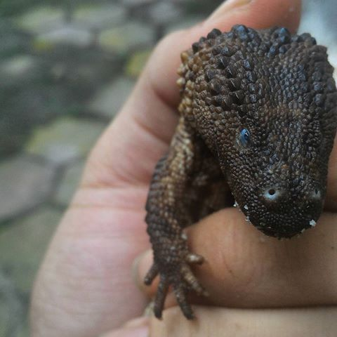 Pet Earless monitor lizard Photo: Imgrum