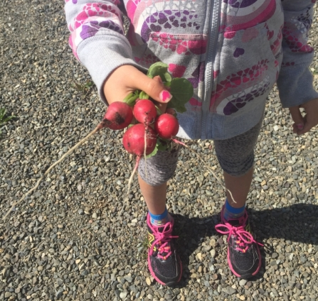 A garden volunteer holds fresh radishes. Harvest time has begun and delicious, nutritious veggies are being harvested at the Cultivating Roots Garden!